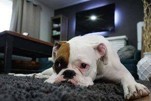 Carpet Pet Stain and Odour Removal